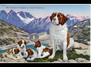 Schweiz, Chiens de l`Hospice du Grand St. Bernard, Bernhardiner Hunde Farb-AK